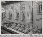 Display of lamb carcasses