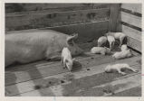 Pig and piglets in a pen