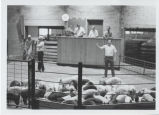 Farmers showing pigs in front of judges