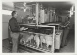 Two men inspecting pigs