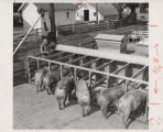 Pigs feeding at troughs
