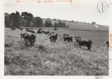 Cattle in field