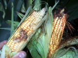 Corn damaged by Western bean cutworms