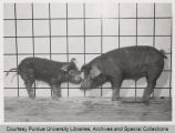 Pigs, one with Parakeratosis