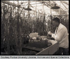 Dr. Compton in green house crossing wheat