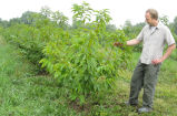Douglass Jacobs looking at American chestnut tree hybrid
